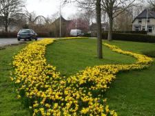 Zuidlandse narcissen volop in bloei