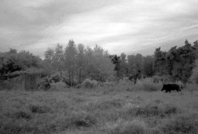 De camera van Staatsbosbeheer legde vanochtend vroeg vast hoe een wild zwijn gebruikmaakte van een ecoduct bij de Veluwe.