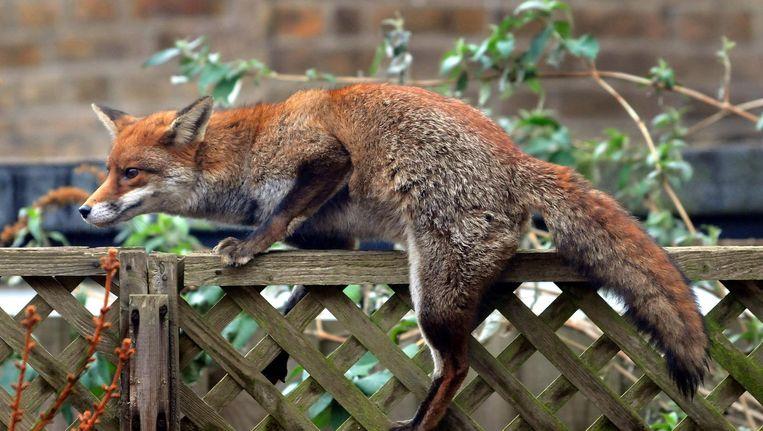 Een stadsvos op een tuinhek in Londen Beeld Getty