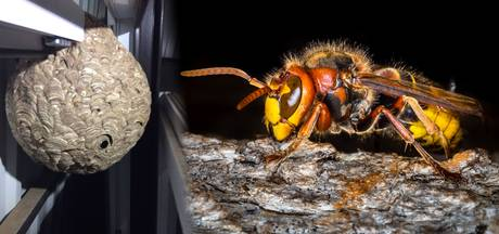 Beruchte Aziatische hoornaar gaat nooit meer weg uit België