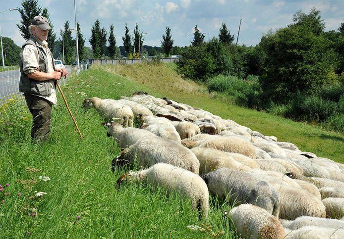 Herder Huug Hagoort hoedt zijn schapen.