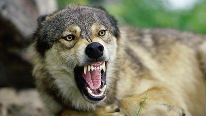 """""""België is het enige wolvenvrije land van Europa"""". Al is dat een kwestie van tijd"""