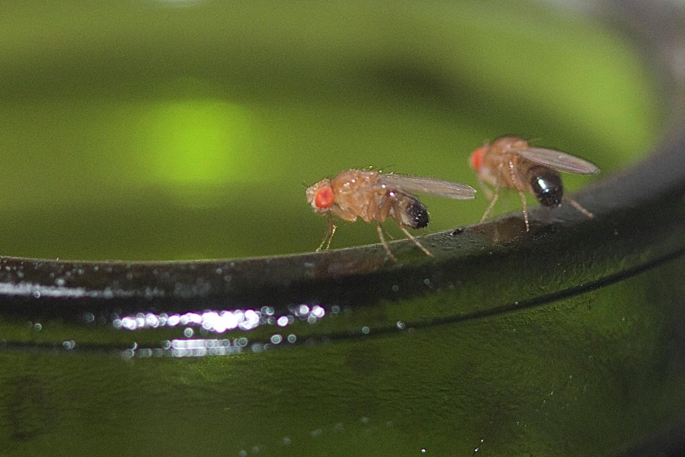 Fruitvliegjes houden van gistend fruit. Hier zitten ze op een lege wijnfles.