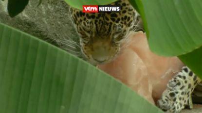Ook voor hen is het warm: dieren in zoo genieten van eten in ijsblokken