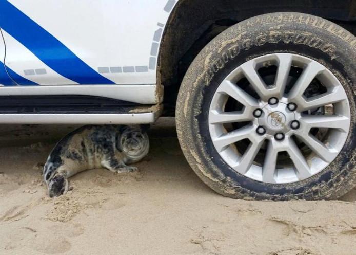 De zeehond onder de politieauto.