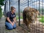 Deze afgedankte circusleeuwen mogen weer echt leeuw zijn