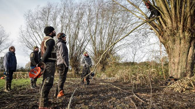 Regionaal Landschap Vlaamse Ardennen zoekt knotbomen en knotters