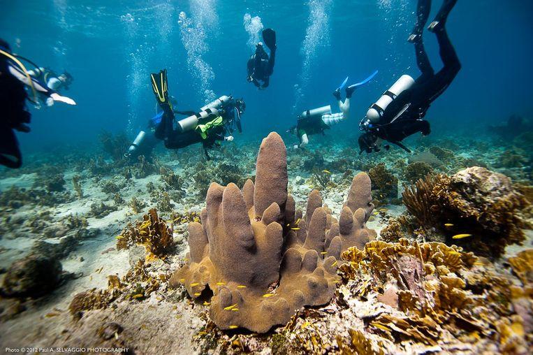 Duikers bij Curaçao planten driehoekige tegeltjes met poliepen die kunnen uitgroeien tot een nieuwe koraalkolonie.