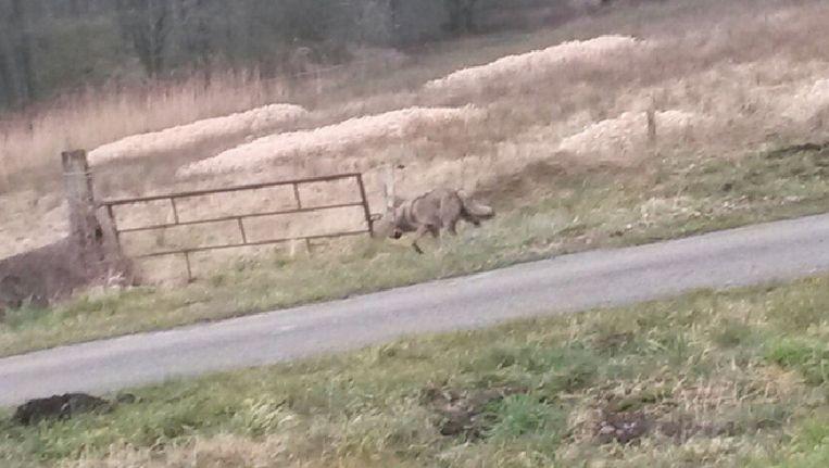 De wolf die vanochtend een kijkje in Nederland kwam nemen Beeld J. van der Aa