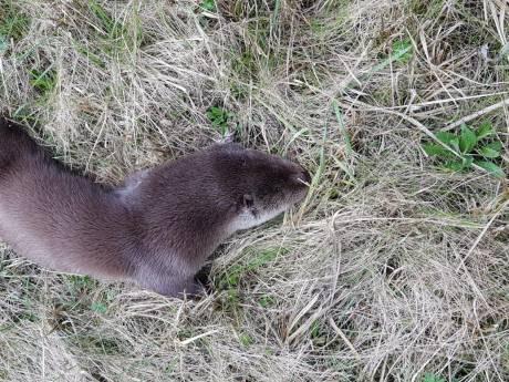 Otter doodgereden bij Aarlanderveen