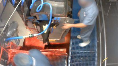 Schokkende beelden: Animal Rights filmt hoe kalveren mishandeld worden in slachthuis in Hasselt