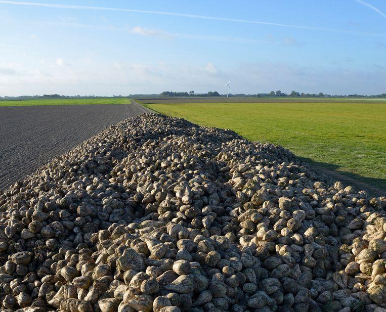 In het Groningse Westernieland ligt een berg suikerbieten te wachten op vervoer naar de suikerfabriek.  Beeld Hollandse Hoogte / Hoogervorst