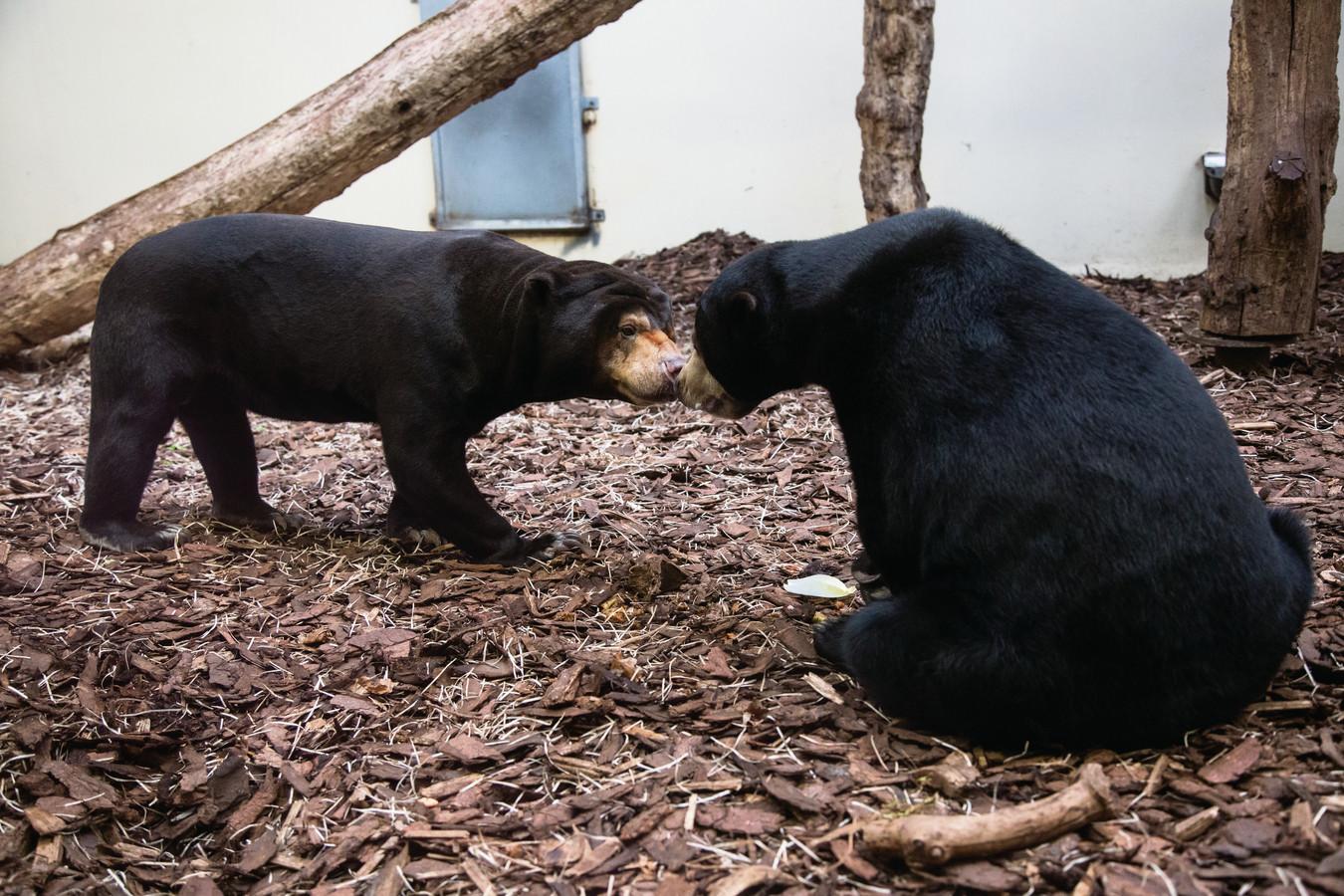 De eerste kennismaking met de Schotse berenman in Burgers' Zoo.