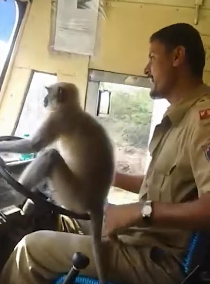 Een aap als buschauffeur