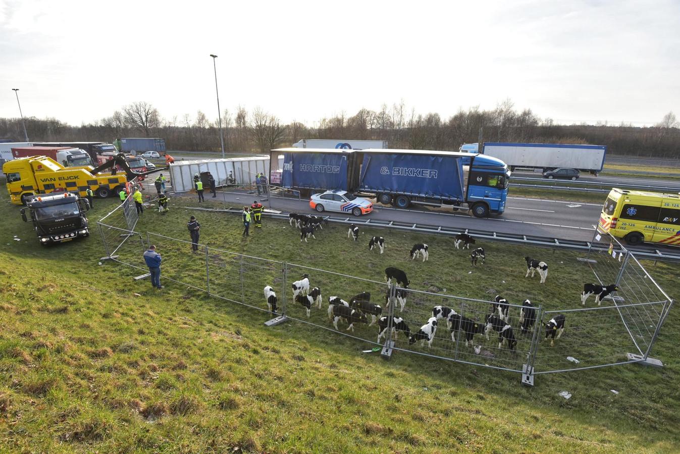 Ruim 100 kalfjes dood na ongeluk met veewagen op A16 ...