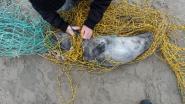 Wandelaars redden in visnet verstrengeld zeehondje op strand van Lombardsijde