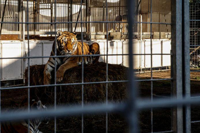 Een tijger in het Lidia Togni-circus, één van de ongeveer tachtig rondreizende circussen in Italië.