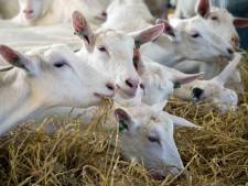 Provincie Utrecht verbiedt nieuwe geitenboerderijen om gevaar op longontsteking