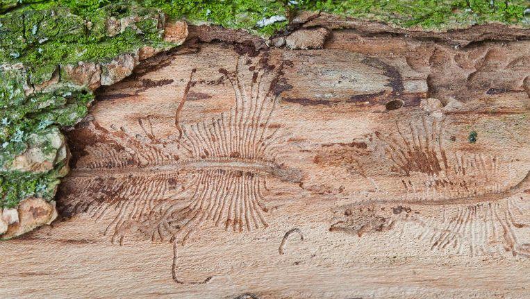 Sporen van de iepenspintkever onder de bast van een iep. De kever geldt als een van de voornaamste verspreiders van de schimmel. Beeld Shutterstock