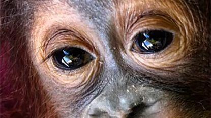 Verzorgers proberen levensmoe baby-aapje er bovenop te helpen na moord op moeder