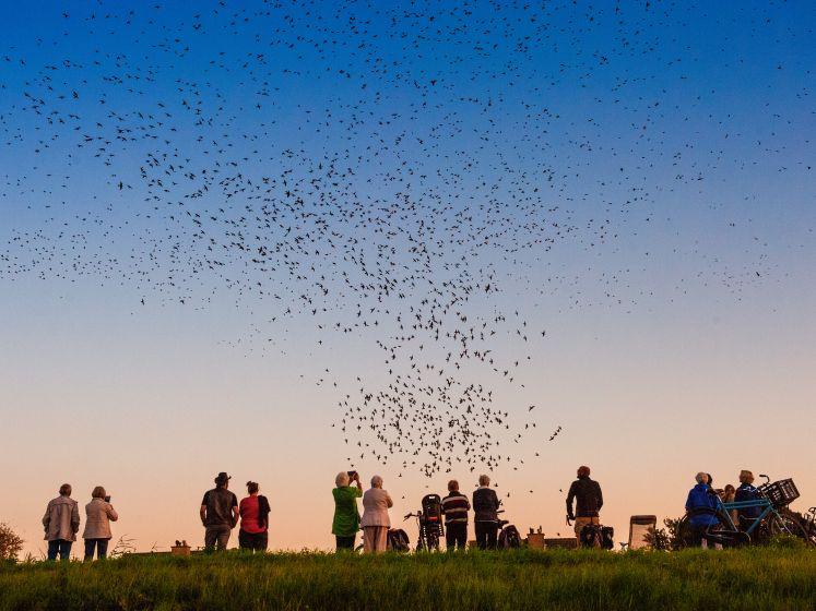 Spectaculaire luchtshow van spreeuwen bij Gouda trekt toeristen