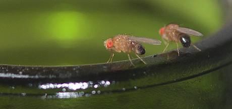 Vijf tips om fruitvliegjesplaag in Twente onder controle te krijgen