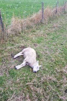 Kinderen schrikken van vijf dode schapen in Spijkenisse