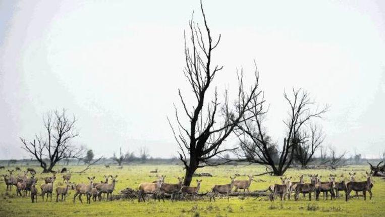 Herten tijdens de bronsttijd. (FOTO BRAM PETRAEUS) Beeld