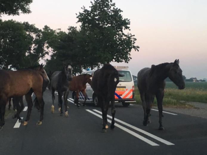 De paarden lopen op een 80-kilometerweg.