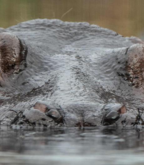 Zambia wil ondanks eerder protest toch duizenden nijlpaarden doden