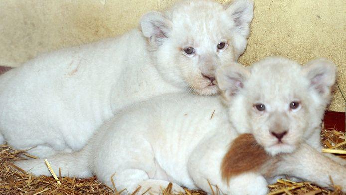 Archieffoto: witte babyleeuwtjes.