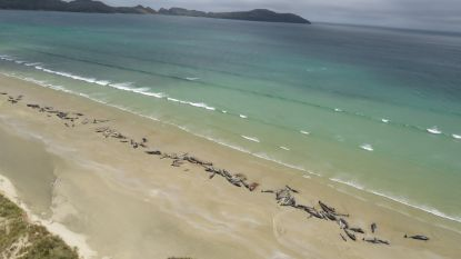 Massale walvisstranding op Chatham Eilanden