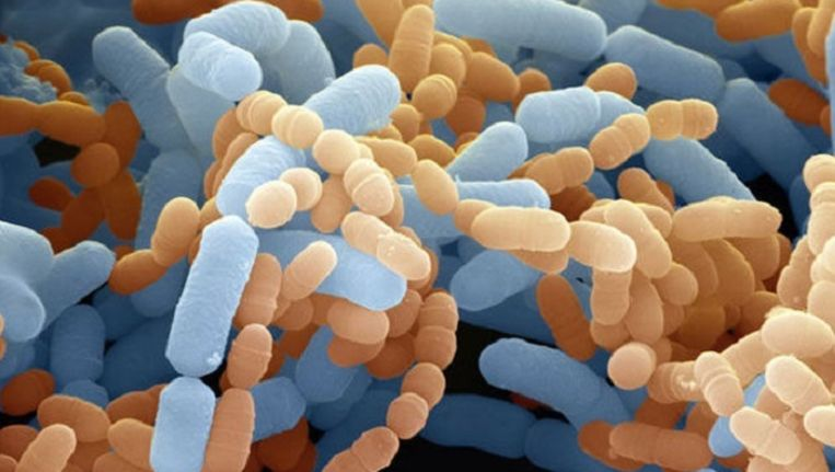 Darmflora bacterie. Beeld AP