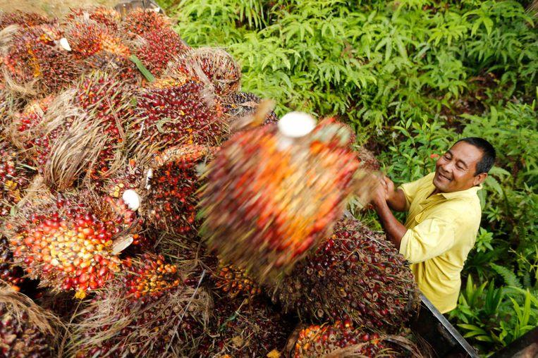 Vruchten van de oliepalm. Beeld REUTERS