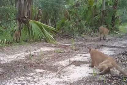 Mysterieuze ziekte in Florida doet panters strompelen en vallen