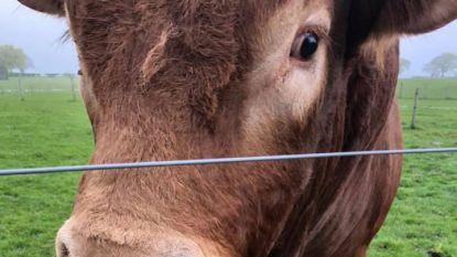 Stier met jeukend achterwerk zet drie Schotse dorpen zonder stroom