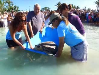 Zeeschildpad Booga raakte gewond tijdens orkaan Irma: een vin-amputatie en verschillende behandelingen later kan ze eindelijk terug naar de oceaan