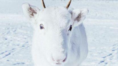 Fotograaf spot zeldzaam rendier dat even wit is als de sneeuw