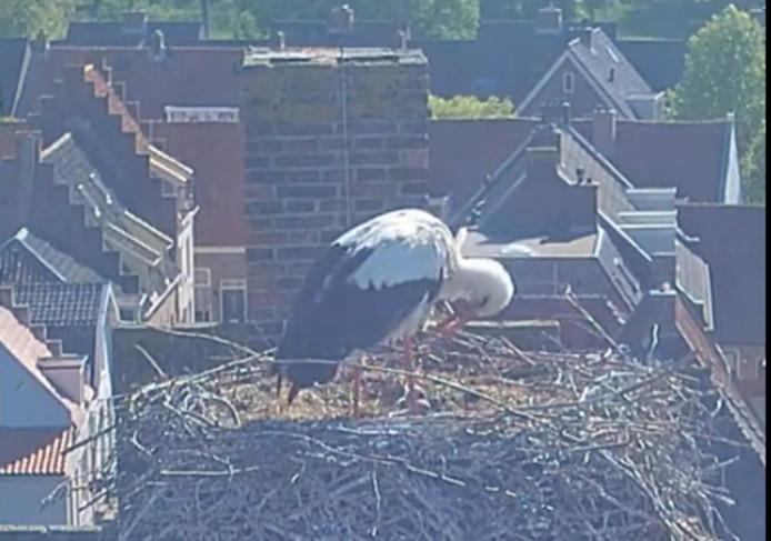 De ooievaar op het nest in Vianen.