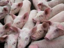 Omwonenden verliezen strijd tegen uitbreiding van Aaltense varkenshouderij
