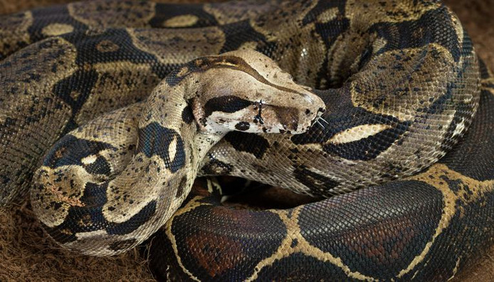 Boa constrictor (archive d'illustration)