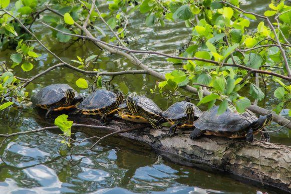 De exotische waterschildpadden zijn een attractie geworden aan de Brusselse Forten als ze liggen te zonnen.