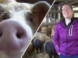 Deze Vlaardingse boerin houdt varkens op speciale manier