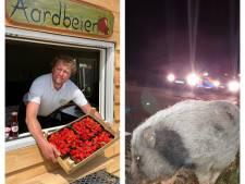 Drive-in Manderveense Aardbei wordt 'creepy en eng' & ontsnapt varken loopt knorrend door Enschede