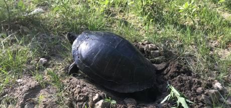 Niet op een tropisch strand, maar 'gewoon' in het Kralingse Bos: schildpad legt eieren