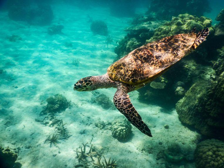 Loggerhead sea turtle (Caretta caretta), Nosy Tanikely National Park, Northwest Madagascar, Madagascar, Africa
