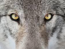 Wolf gesignaleerd in oosten van Brabant: 'kwestie van tijd voor er meer volgen'