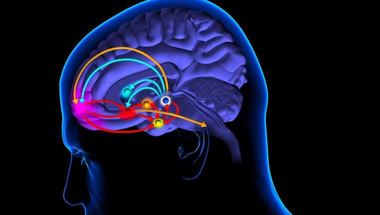 De amygdala, voor in de hersenen. Beeld Getty Images