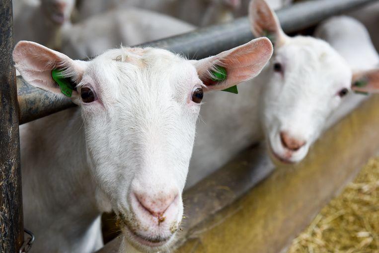 De geitensector is hard aan het groeien. Beeld Carl Mureau