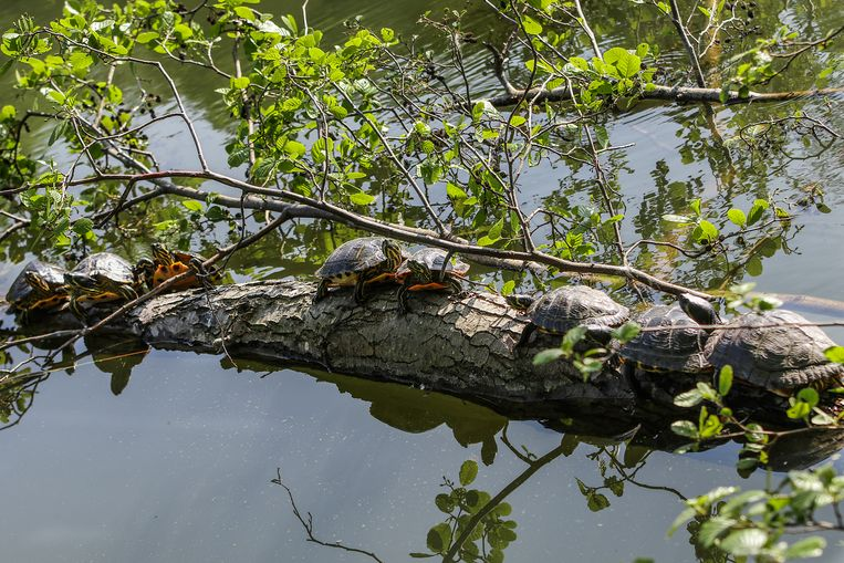 De exotische schildpadden zijn misschien wel een leuke attractie, maar vormen een bedreiging voor de andere fauna en flora in de Brusselse Forten.